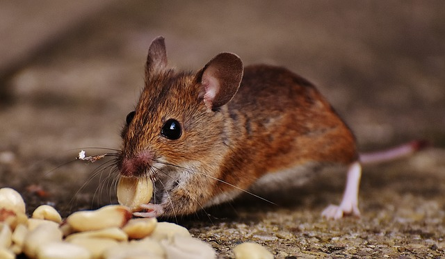 לכידת עכברים: מה לעשות עד שמגיע הלוכד