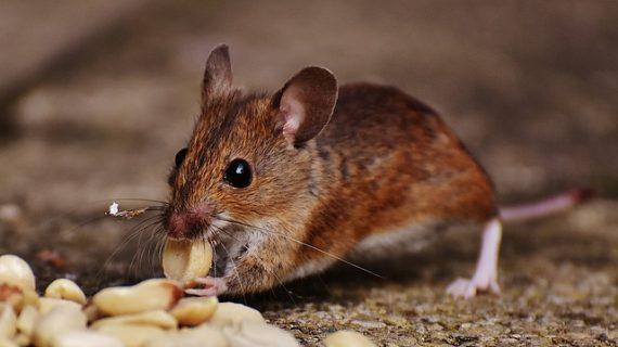 לכידת עכברים: מה לעשות עד שמגיע הלוכד?
